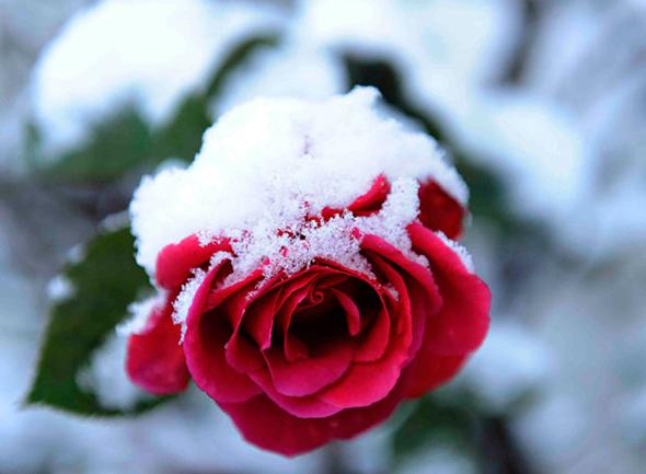 #82. Roses In Winter